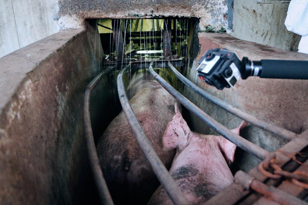 360° Kamera über Schweinen